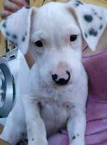 Great Dane/wolfhound/ridgeback X staffy pups for sale. Hazeldean Somerset Area Preview