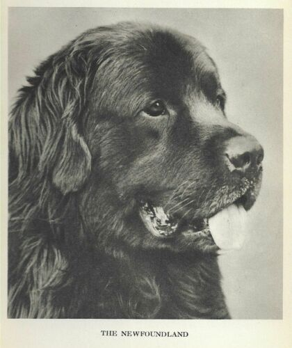 "Newfoundland Head Study ""P"" - 1931 Vintage Dog Print - MATTED"