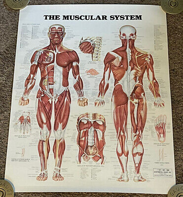 Vintage 1986 The Muscular System Anatomy Poster Rolled 20x26