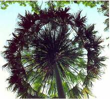 Livistona Decipiens - Australian Native Palm Casula Liverpool Area Preview