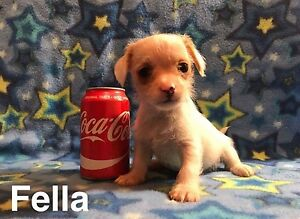 Puppy for sale. Chihuahua/ terrier mix. One left. Male