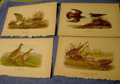 4 lot 1890 Chromolithograph, Color Bird Prints Antique Quail Snipe Killdeer