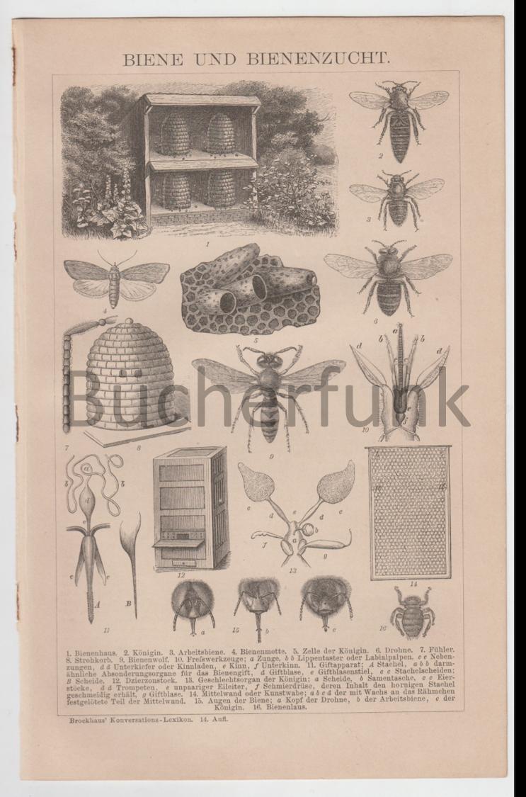 Biene u. Bienenzucht - Holzstich v. 1892 - Bienenkorb, Drohne, Arbeitsbiene etc.
