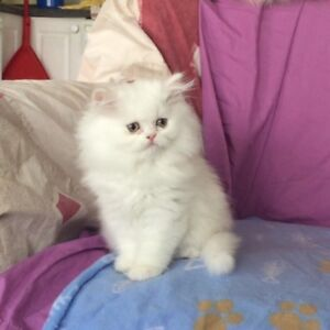 Registered Non pointed Himalayan kitten