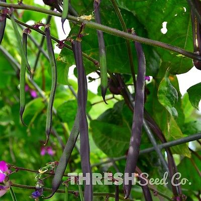 Snap/Green Bean (Pole) - Purple Podded Pole - 25 seeds + Free Gift