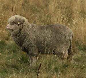 Polwarth rams Forcett Sorell Area Preview