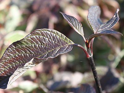 50 Black Dogwood 2-3ft Hedging Plants, Cornus Alba Kesselringii, Beautiful Bark