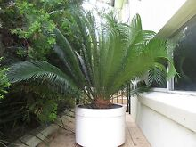 Large Cyclad Plant in White Fiberglass Pot - Mother's Day Gift Putney Ryde Area Preview