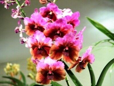Papilionanda Yuuko Iso Sumida Ted Sumida  Vanda Orchid Plant Shipped In 3