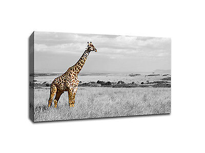 Giraffe Safari in Africa - Touch of Color - 20