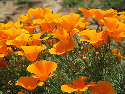 CALIFORNIA POPPY HERB SEEDS, Medicinal Calming, Anti-Inflammatory