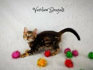 Bengal Kittens Brown Rosetted & Marbled