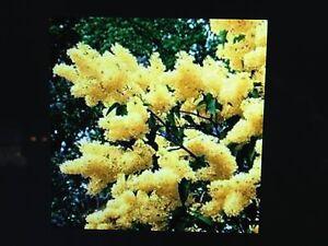 YELLOW LILAC TREE* 18 INCHES  * SHRUB  BLOOMS FLOWERING SHRUBS TREES  BUSHES