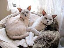 Missing/Stolen Burmese Cat Booragoon Melville Area Preview