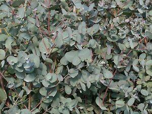 Eucalyptus Gunnii 1-2ft Tall In a 2L Pot, Attractive Bark, Aromatic Foliage