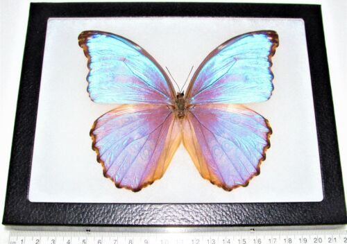 REAL FRAMED BUTTERFLY BLUE PURPLE MORPHO GODARTI ASARPAI PERU