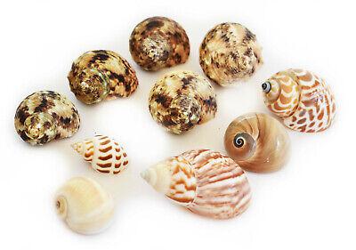 10 Hermit Crab Changing Shell Set Medium Size Turbo Land Snail & Moon Shells