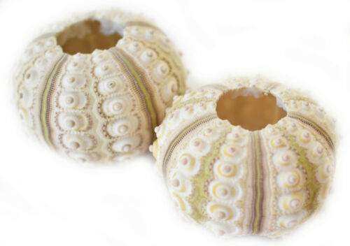 "2 Small Sputnik Sea Urchin Shells 1.5-2"" Beach Crafts Coastal Nautical Air Plant"
