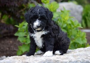 F1b Sheepadoodle | Dogs & Puppies for Rehoming | Kitchener