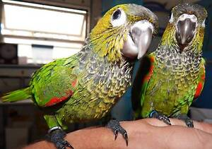 HANDRAISED CONURES AVAILABLE SOON! Kingston Logan Area Preview