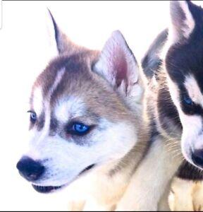 Siberian Husky. Grey. Black and white.
