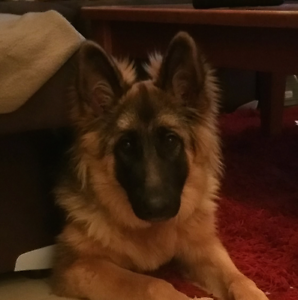 German Shepherd pup Mudgee Mudgee Area Preview