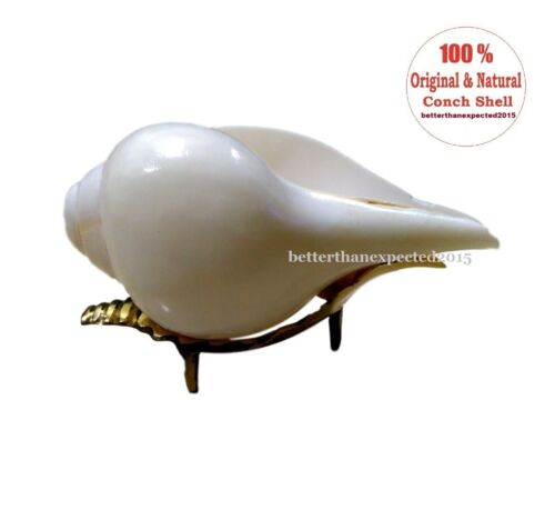 Loud & Big Vamavarti (13 cms) Blowing Shankh (White) Right Hand Shankh Energized