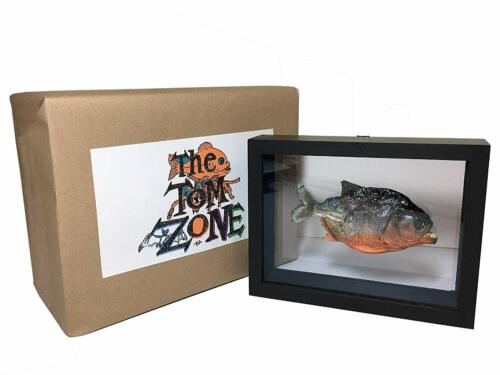 Taxidermy Piranha Real Fish - Under Glass - Double sided, stand alone Frame.