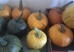 Sugar pie pumkins from granma's farm. $5 each