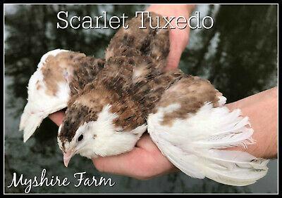 50 Scarletrange Coturnix Quail Hatching Eggs By Myshire Farm Includes Tuxedo
