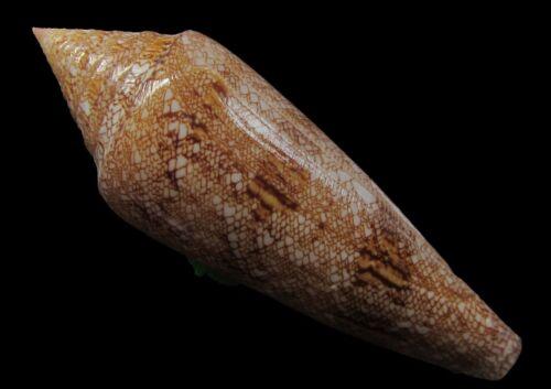 Sea shells - Conus gloriamaris 95mm - Exceptional pattern