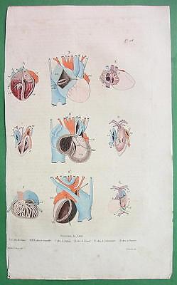 HEART Anatomy of Fetus Lizard Snake Fish - 1836 H/C Color Natural History Print