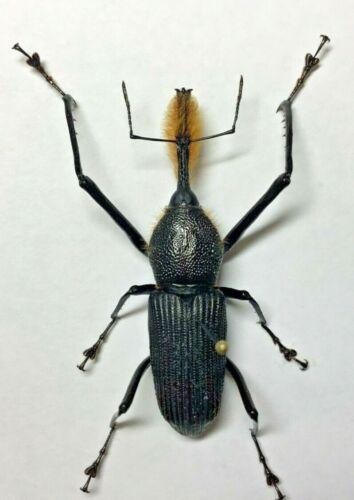 Curculionidae: Rhinostomus barbirostris Male - Peru