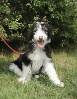 SHEEPADOODLE PUPPIES - Ready to Go | Dogs & Puppies for