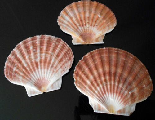 "12 Large Irish Flat Scallops Shells Seashells 4""+ Crafts Beach Cottage Decor"