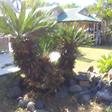 several large cycads and heaps of agave Elliott Heads Bundaberg City Preview