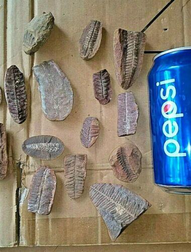 Lot of Mazon Creek Fern Fossils 15 single Ferns 300 Million Years Old