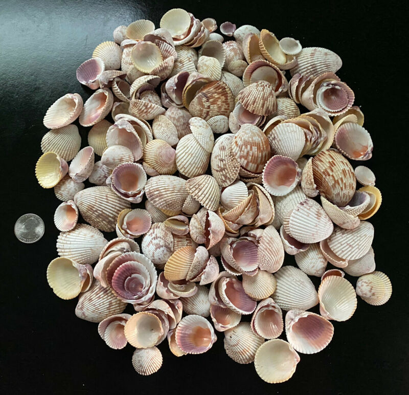 Huge Lot 1/2 LB Small Cockle Shells Great For Crafts, Decor