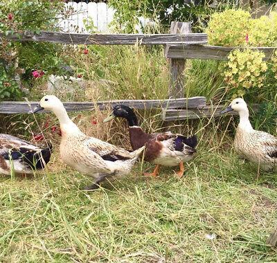 6 Welsh Harlequin Duck Hatching Eggs Fertile Free Range Duckling