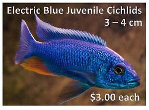 Electric Blue Cichlids 3-4cm $3.00 each - open till 10pm daily Willetton Canning Area Preview