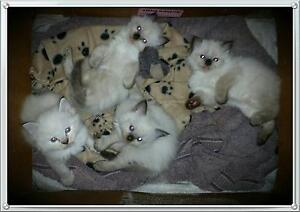 Gorgeous Ragdoll Kittens Gulmarrad Clarence Valley Preview