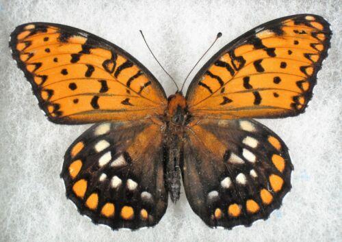 Insect/Butterfly/ Speyeria idalia - Male