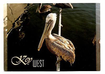 Key West Florida Postcard Keys Pelican Bird Pouch Big Beaks Unposted