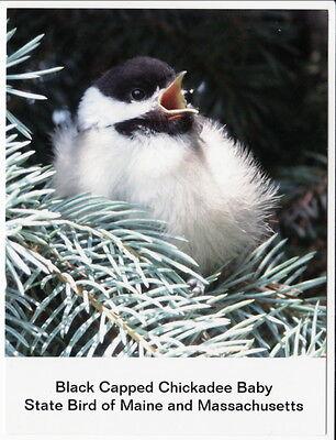 Postcard Baby Black Capped Chickadee State Bird Maine and Massachusetts ME MA