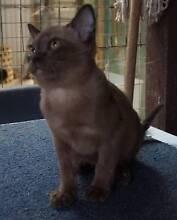 Burmese kitten Baxter Mornington Peninsula Preview
