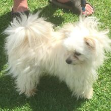 Lhasa Apso X Pomeranian Puppies Young Young Area Preview
