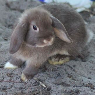 Chocolate Vienna mark vaccinated mini lop rabbit - URGENT