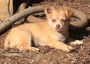 Chihuahua purebred pedigree pup Gawler Gawler Area Preview