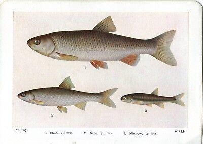 Beautiful Chub Dace Minnow Fish Book Print / Plate on Paper. 80+ years old
