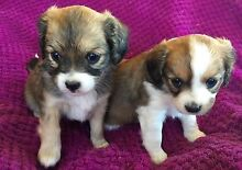 Beautiful cavalier cross chihuahua puppies Marsfield Ryde Area Preview